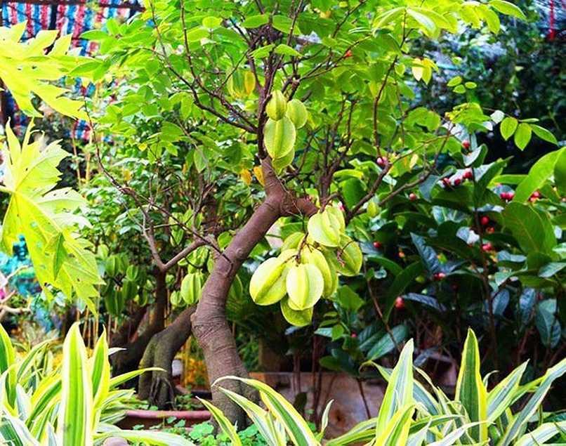 Cay Khe Trong Phong Thuy (3)